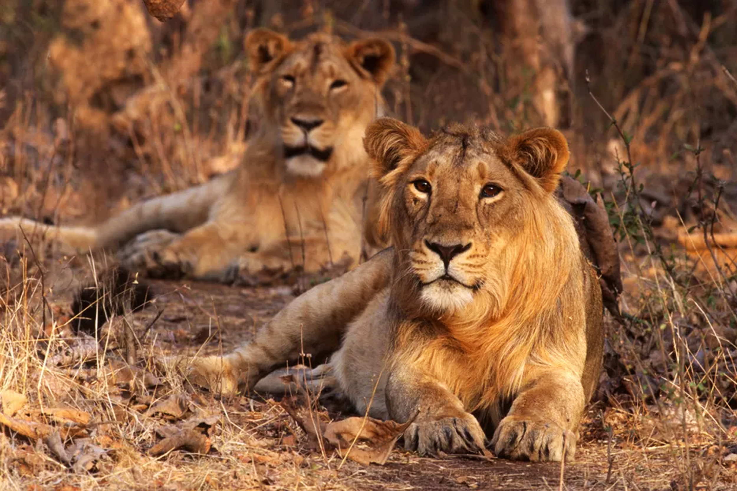 Lions at Gir Interpretation zone