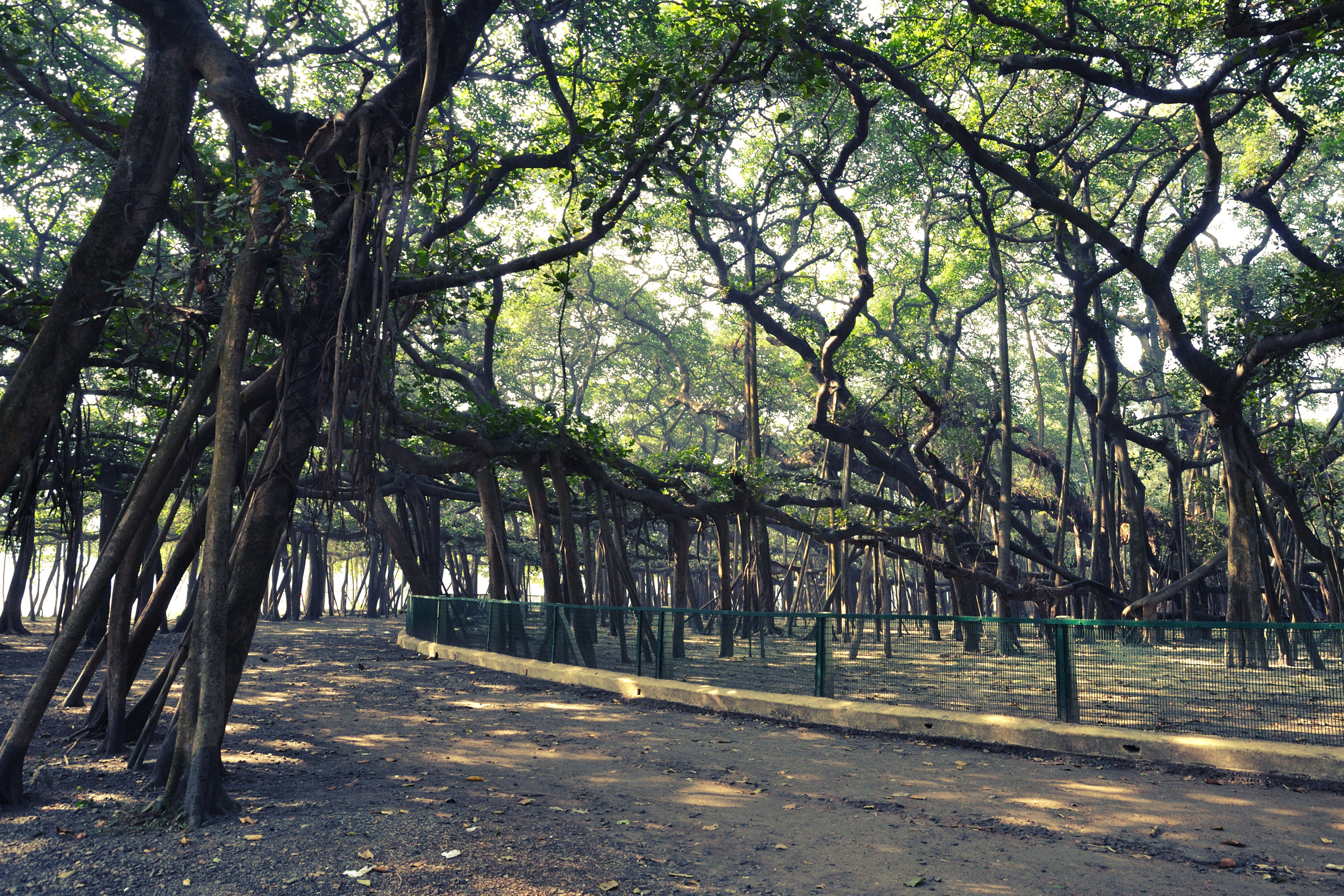 The Great Banyan tree at the Acharya Jagadish Chandra Bose Indian Botanic Garden