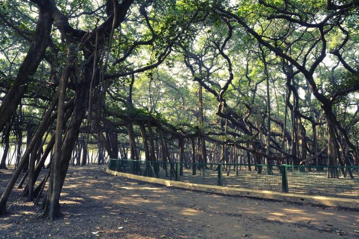 The Great Banyan tree at the Acharya Jagadish Chandra Bose Indian Botanic Garden