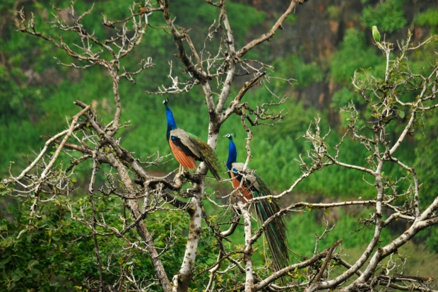 Birds of Rajasthan